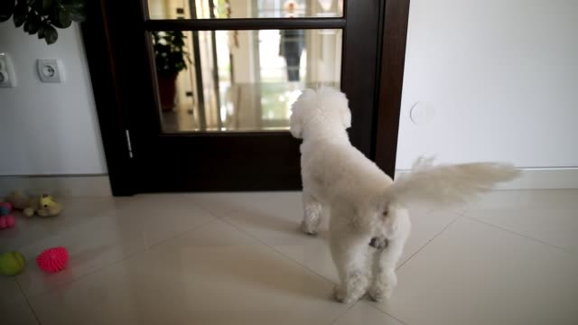 Happy maltese dog jumping out of joy in front of doors while waiting guests