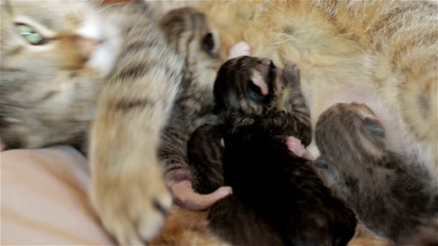 Happy mother cat is feeding her kittens. video