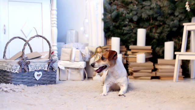Happy pet Christmas time Dog sitting on the floor in the room waiting .In expectation New Year holiday. More videos clips from this series in my portfolio jack russell terrier stock videos & royalty-free footage