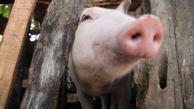 Happy pig video