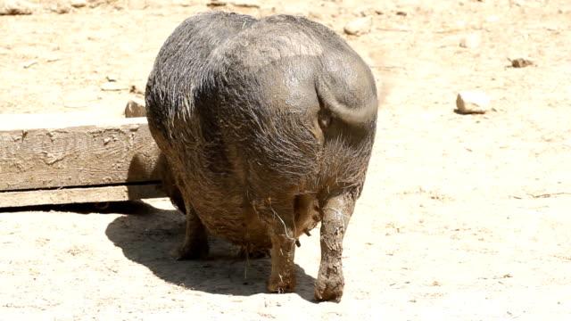 Happy Piggy video