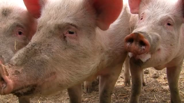 Happy pigs crying for food video