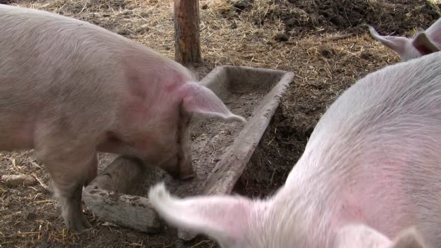 Happy pigs waiting for food video
