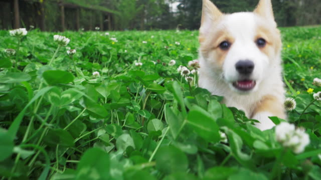 Happy puppy corgi dog running after camera in clover field
