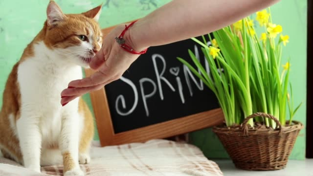 happy red cat kitten likes being stroked by woman's hand. calligraphic inscription hand lettering letters spring on black chalkboard standing on green concrete surface with yellow blossom narcissus in wicker basket. - bouquet video stock e b–roll