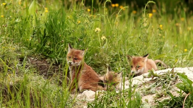 happy red fox cubs near the burrow