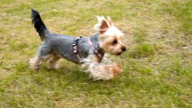 幸せなランニング犬 - 愛玩犬点の映像素材/bロール