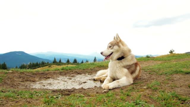 stockvideo's en b-roll-footage met gelukkig siberische husky hond in bergen - bruin