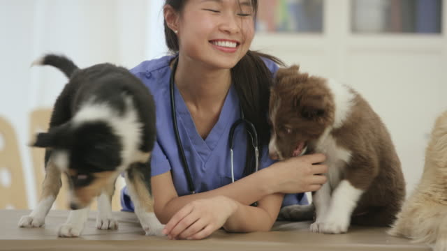 Happy Vet Happy Pet Beautiful female asian veterinarian smiling and standing with two cute border collie puppies and a golden retriever  at her office. veterinarian stock videos & royalty-free footage