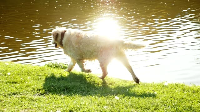 Happy wet golden retriever walks along the mountain pond in sunny summer day