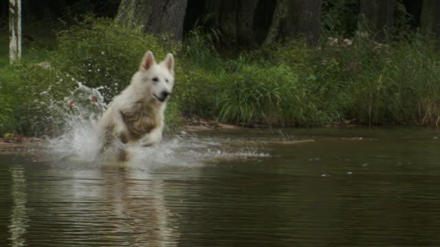 cane sheperd bianco felice che insegue bastone - fauna selvatica video stock e b–roll
