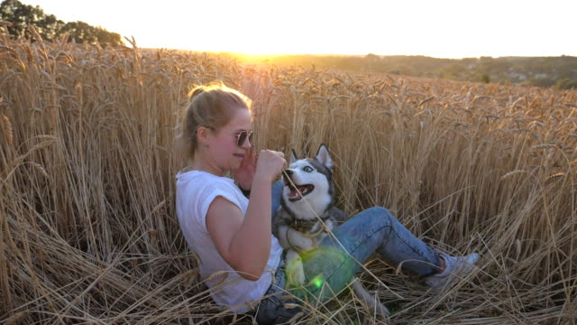 happy woman with blonde hair holding in hand golden spikelet and playing with her siberian husky at wheat meadow. young girl in sunglasses sitting with her pet at field on sunset. slow motion - cane husky video stock e b–roll