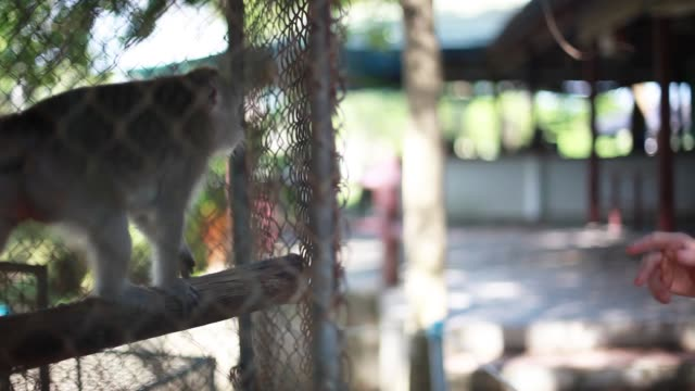 Happy young man playing with cute small monkey in cage. 1920x1080 video