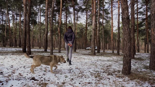 Happy young woman walking with her cute shepherd dog in collar on leash outdoors in winter snowy pine forest