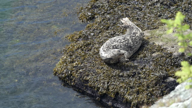 Harbor Seal on Shore Resting 4K UHD video