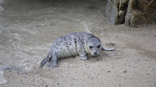 Harbor Seal Pup Watches Mother Leave To Fish