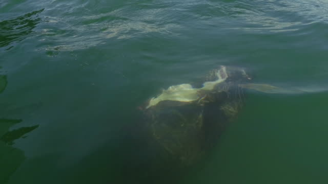Harbor Seal Swimming Underwater While Eating a Fish video
