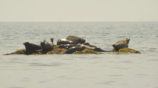 Harbor seal (Kuril Islands)