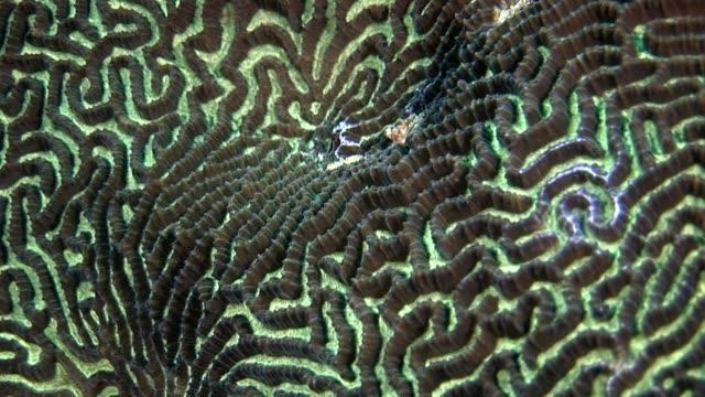 rund um hart korallen gehirn in form von ball unterwasser erstaunliche meeresboden auf den malediven. - inneres organ eines tieres stock-videos und b-roll-filmmaterial