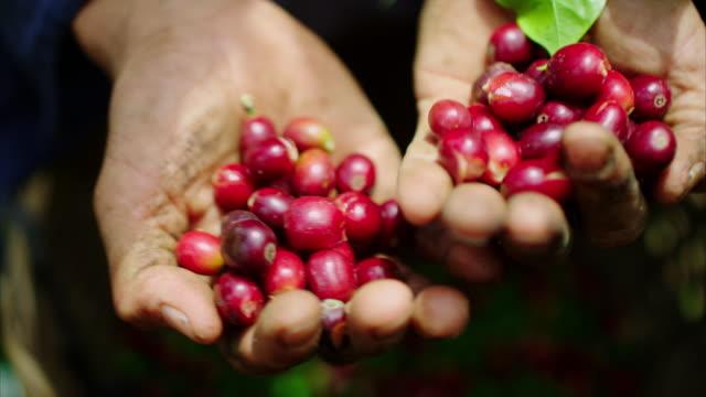 """eine hart arbeitende farmer bietet das coffee kirschen er kürzlich ausgewählte in seinen händen gerichtet, und tropfen sie in seinen eimer in zeitlupe. diese sind dann getrocknete kirschen und der """"pulp entfernt. das ist es, was ihren kaffee beginnt wie! - rohe kaffeebohne stock-videos und b-roll-filmmaterial"""