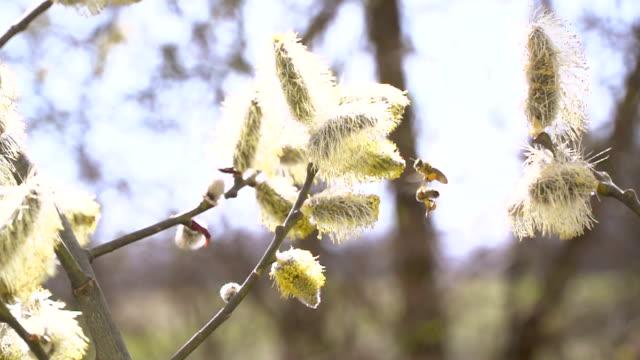 スローモーションでウィローを尾状花序から蜂蜜の蜜を集める働き者ミツバチ ビデオ