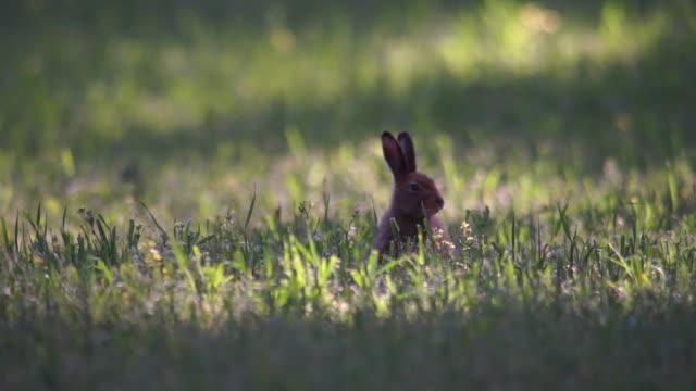 hare - animale selvatico video stock e b–roll