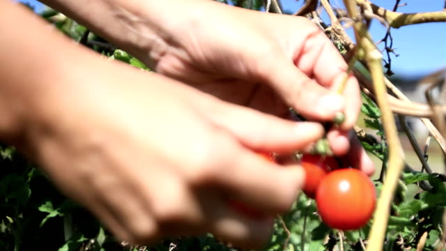 harest tomatoes video