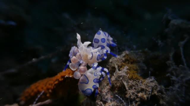 gambero arlecchino mangia una stella marina, bali, indonesia (4k - crostaceo video stock e b–roll