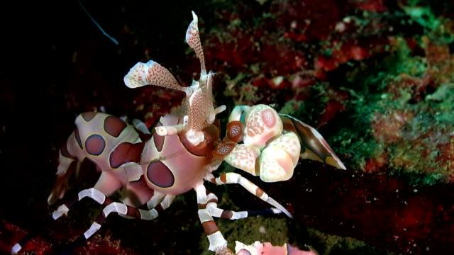gambero arlecchino è mangiare una stella di mare in primo piano - crostaceo video stock e b–roll