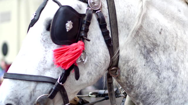 Harnessed dapple gray horse on the street, close-up shot video
