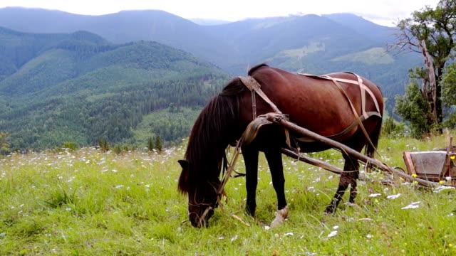 harnessed horse grazing in a meadow. - grzywa filmów i materiałów b-roll