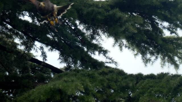 Harris Hawk Branch Fly - video