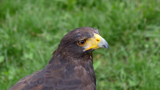 Harris Hawk - video
