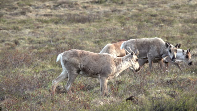 Hart River Woodland caribou herd Yukon subarctic tundra Tombstone Territorial Park Ogilive Mountains video