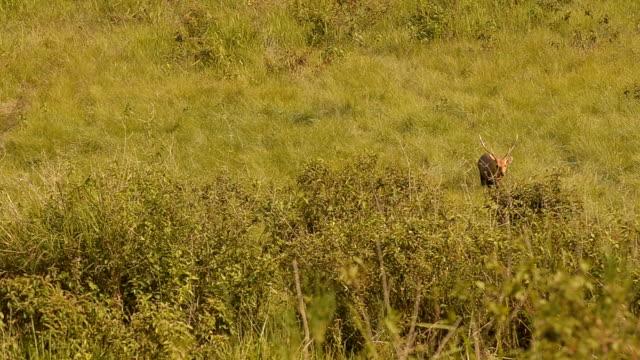 hart walking out forest - single pampas grass bildbanksvideor och videomaterial från bakom kulisserna