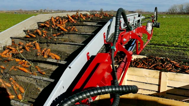 Harvest and transport of fresh organic carrots Mass production and harvest of carrot roots with modern agricultural machinery,video clip carrot stock videos & royalty-free footage