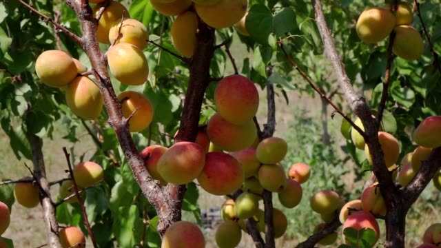 Harvest apricot in the farm garden Harvest apricot in the farm garden peach stock videos & royalty-free footage