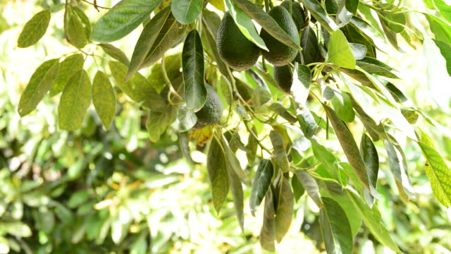Harvest avocados fruit in a plantation of fruit trees video