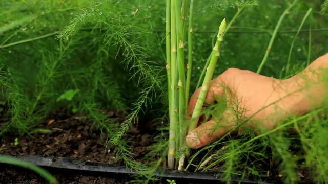 ツリーから新鮮な野菜アスパラガスを収穫します。 - 収穫点の映像素材/bロール