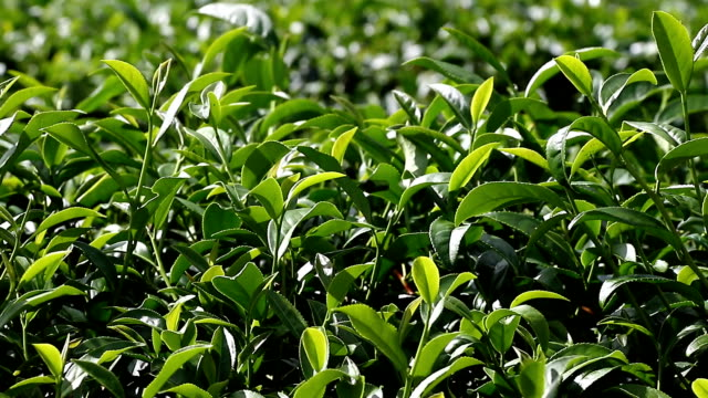 Harvest green tea bush video