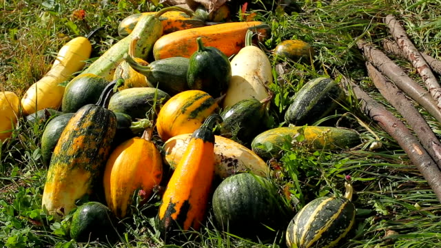 harvest lying on the grass. - zucchini video stock e b–roll