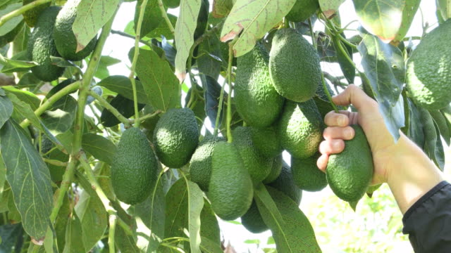 Harvest manually a avocados fruit in a avocado tree Harvest manually a avocados fruit in a avocado tree in a agricultural plantation a sunny day avocado stock videos & royalty-free footage
