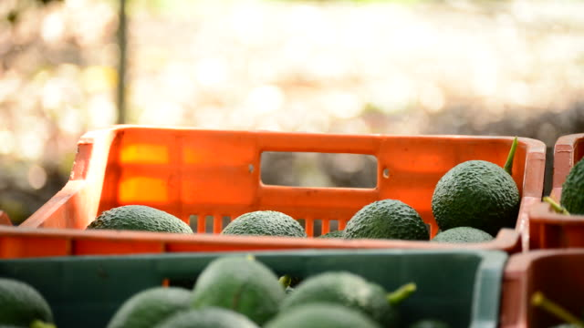 Harvest of avocado fruit in boxes video
