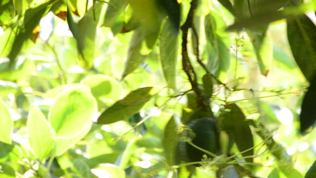 Harvest of avocado fruit with pole in a plantation video
