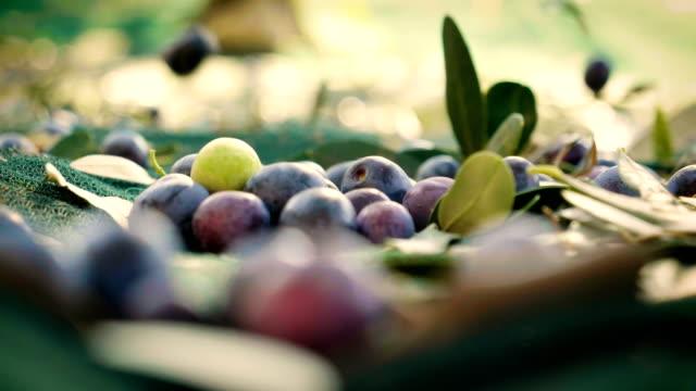 raccolta di olive appena spremute dall'albero per la produzione di olio extravergine di oliva prodotto nel nostro paese. - olio d'oliva video stock e b–roll
