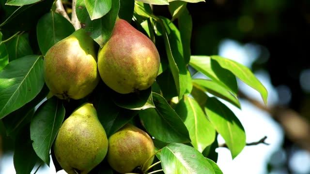 harvest of ripe pear fruit on the tree harvest of ripe pear fruit on the tree, organic food gardening pear stock videos & royalty-free footage