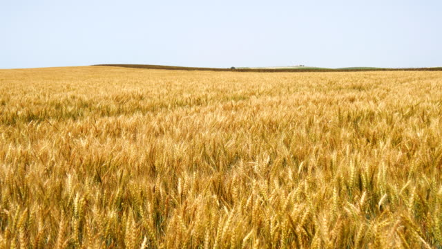 Harvest of ripe wheat and ready to pick (Barley, Rye) video
