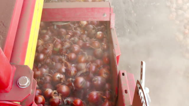 Harvest Onions in a Field video