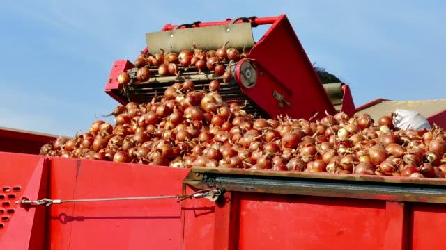 harvest onions in a field - cebula filmów i materiałów b-roll