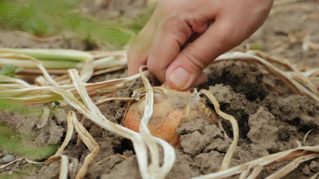 Harvest onions. Slow motion, closeup Female farmer hands pulling out headed onion from the dry ground in slow motion. Closeup of woman's hand harvesting organic produce in vegetable garden onion stock videos & royalty-free footage